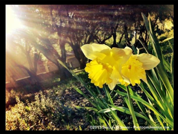 Daffodil Days Photo Girl Travels
