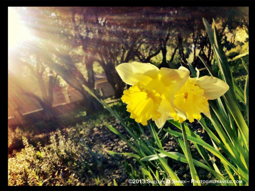 Daffodil Days Photo Girl Travels