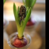 The Winter Hyacinth