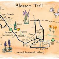 Capay Almond Festival and Blossom Trail Scenic Tour